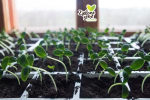 Ekologiczne sadzonki pomidorow i ogórków BIO