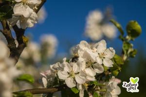 Kwiat ekologicznej JABLONI BIO