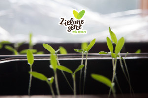 sadzonki_pomidor _BIO_Zielone_Serce