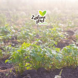 Ekologiczna marchewka, pietruszka i koperek BIO